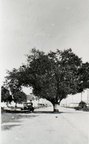 The Texas Avenue oak tree in the 1920s