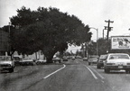 Texas Avenue Oak Tree circa 1974