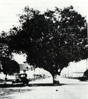 The Oak Tree circa 1930s