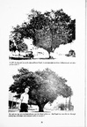 Roots in the Past: Baytown's Big Oak Tree